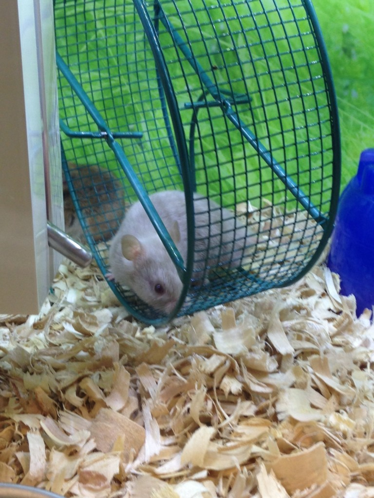 Petsmart Hamster Wheel in a Hamster Wheel